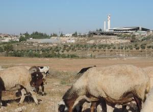 Schafe mit susiya